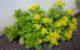 Rodiola, prodotto naturale che trasmette energia